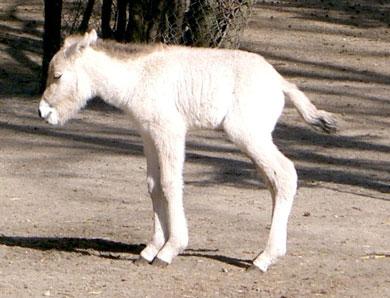 Аскания-Нова Биосферный заповедник Двухдневный жеребёнок лошади Пржевальскогоая
