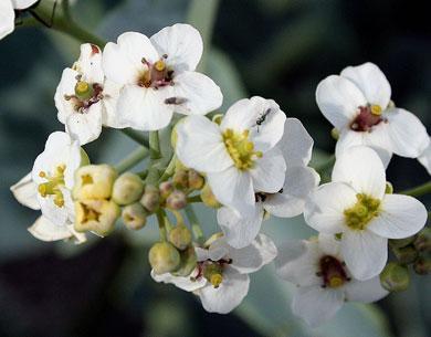 Черноморский биосферный заповедник растения Crambe pontica